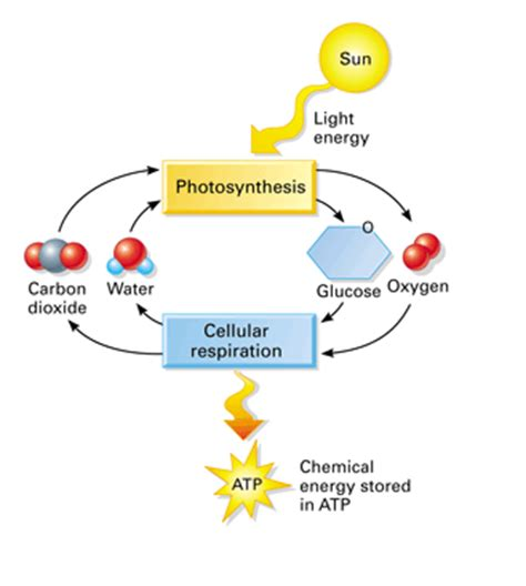 Cellular Respiration and Photosynthesis - Sample Essays